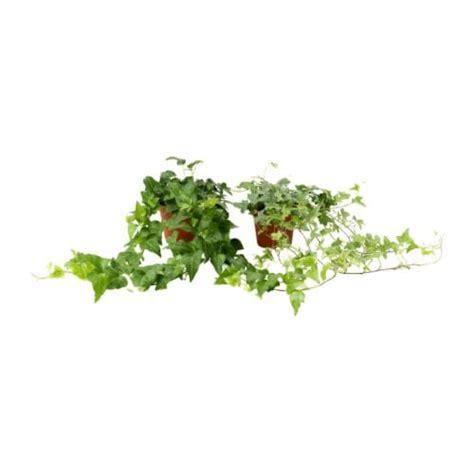 edera da vaso hedera helix pianta da vaso ikea