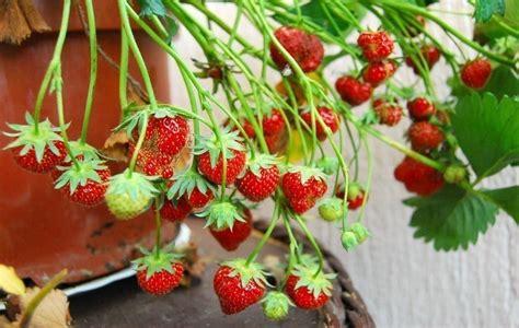 que plantar en casa c 243 mo plantar frutillas en casa