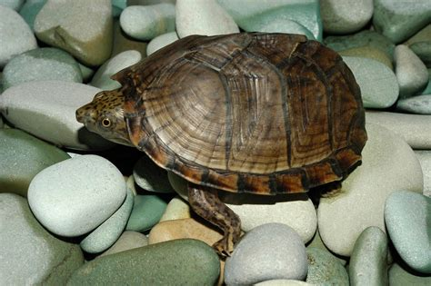 Heat L For Aquatic Turtles by Turtles In Oklahoma