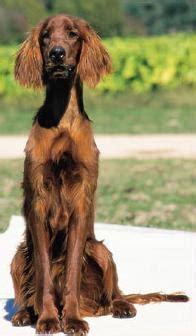 irish setter dogs for sale australia australian dog breeds gallery dog breeds pedigree