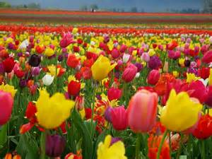 what color are tulips bright colors images beautiful tulips wallpaper photos