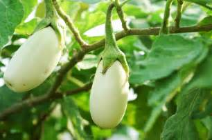 Garden Eggplant Eggplant Types For Gardens What Are Some Varieties