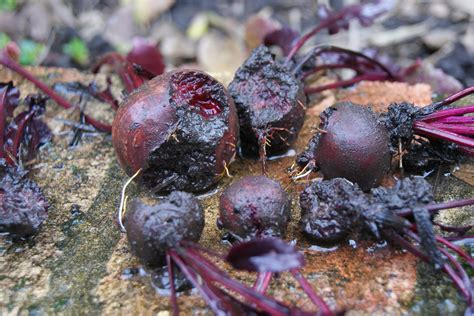 how to get rid of woodlice in my bathroom how to rid your garden of woodlice strawberries in the