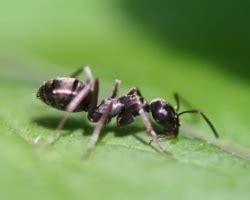 Hausmittel Gegen Ameisen Im Rasen 4016 by Hausmittel Gegen Ameisen