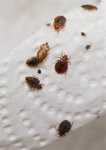 what causes bed bugs bed bug guide