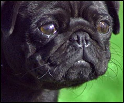 common pug names names for pug