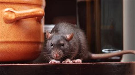 how to get a rat out of your house how to keep rats out of your home bt