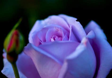 Imagenes Rosas Violetas | imagenes de rosas violetas taringa