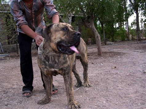 boerboel puppies price south boerboel puppies for sale himmat singh 1 11129 dogs for sale price