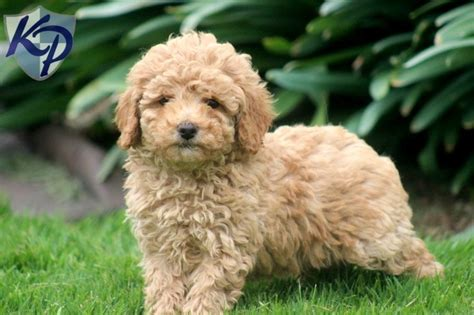 poodle puppies for sale in pa 34 best images about poodle puppies on poodles poodle puppies and