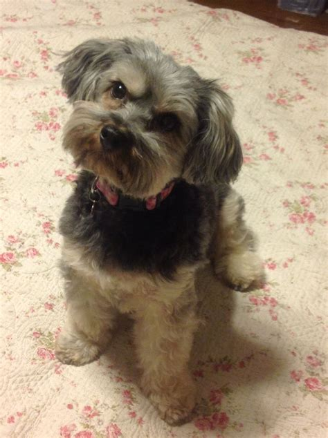 haircuts for shih poo dogs 24 best images about pretty pets on pinterest yorkie