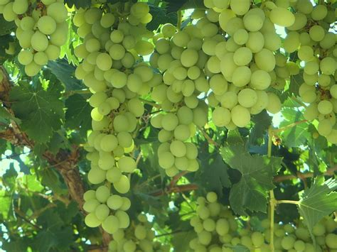 how to grow your grape vines