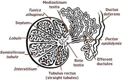 testicular diagram reproductive 2 testes