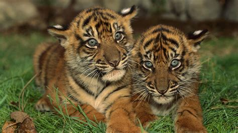 young tigers   grass hd animals wallpapers