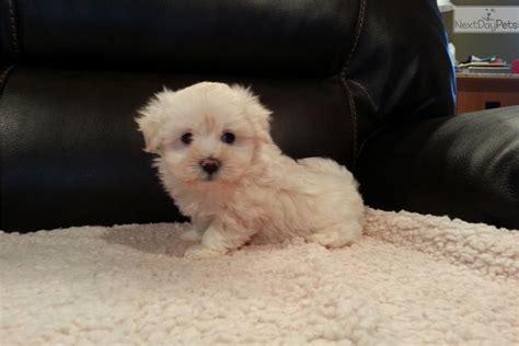 teacup maltese puppies for sale 500 meet a maltese puppy for sale for 500 teacup maltese puppy