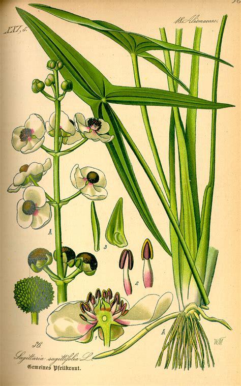 sagittaria trifolia