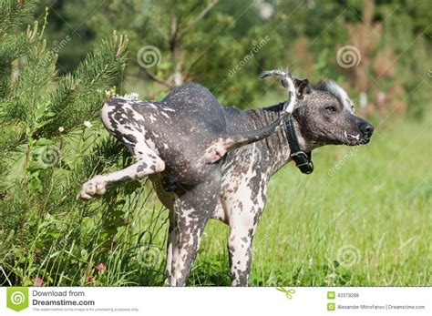 puppy pees all the time hairless mexican stock photo image of garden 42379288
