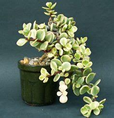 Tanaman Haworthia Reinwardtii senecio articulatus variegata also known as the candle