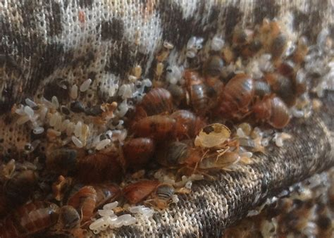 can you see bed bug eggs bed bugs hooper termite and pest control