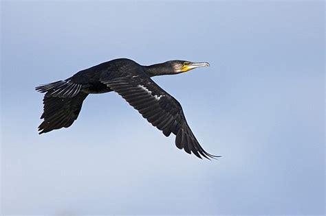 Nahrung Der Vögel 4079 by Kormoran Phalacrocorax Carbo Info A Z Die Vogelarten