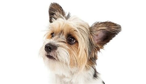 yorkie shih tzu mix shih tzu and yorkie mix www imgkid the image kid has it