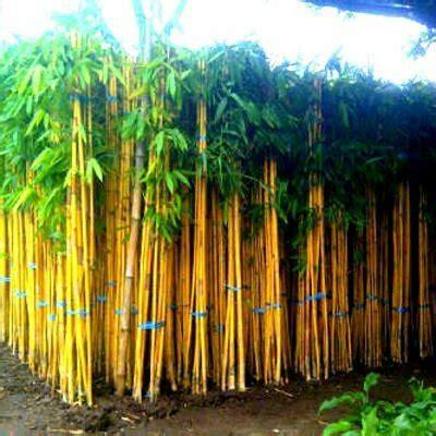 jual bibit bambu kuning tanaman hias dah herbal  lapak