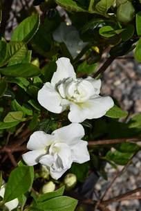 Gardenia Bush Size Hardy Gardenia Azalea Rhododendron Hardy Gardenia In