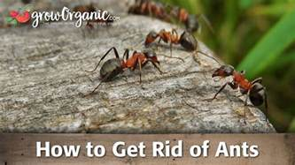 how to get rid of ants youtube