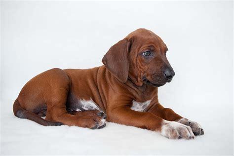 rhodesian ridgeback puppies ohio ridgeback puppy pictures ridgeback puppies available
