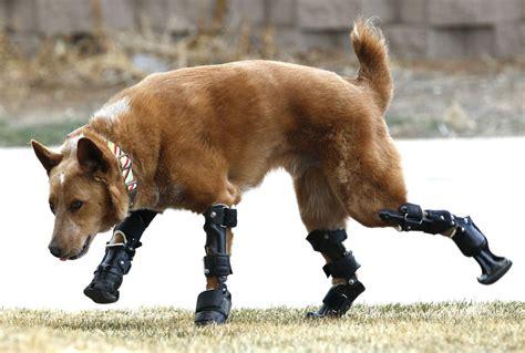 infonetorg injured animals keep moving with prosthetics