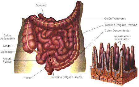 alimentos que provocan inflamacion intestinal factores que influyen en el estado de la mucosa intestinal