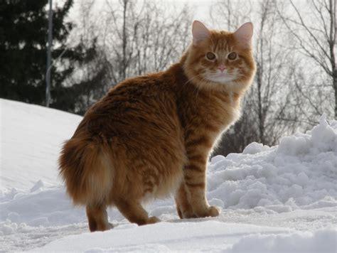 Healthiana: Kurilian Bobtail Cats
