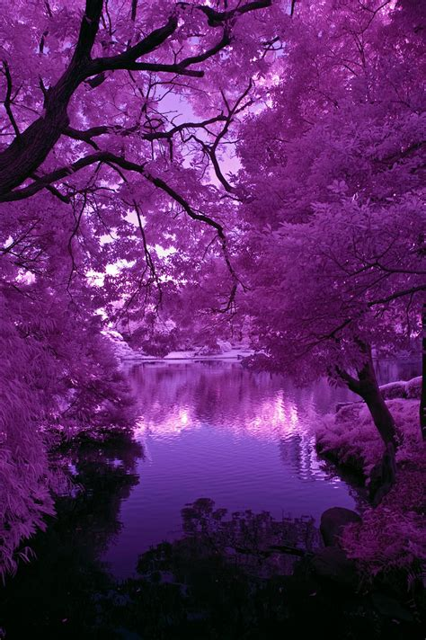 Wisteria Flower Tunnel by Japanese Pond Purple Light And Shadows Copyright