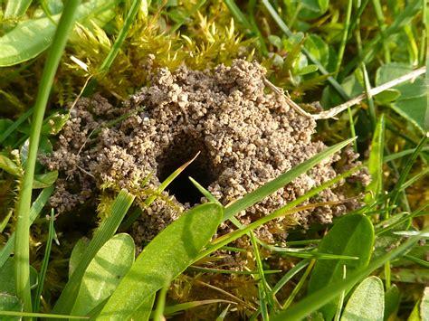 file tawny mining bee nest andrena fulva 2d jpg