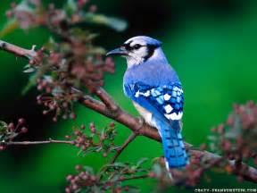 Amazon Uk Computer Desk National Geographics Beautiful Birds Wallpapers