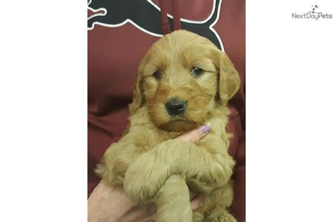 goldendoodle puppies for sale buffalo ny goldendoodle 4 brown goldendoodle for
