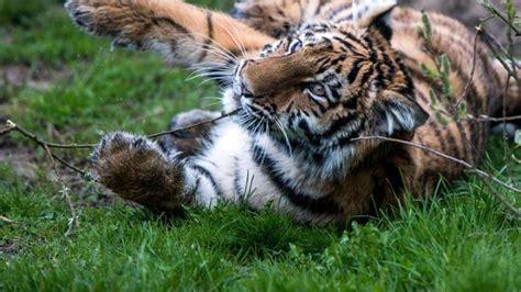 kinderzimmer konzert bremen 4 baby tiger muss sein kinderzimmer verlassen welt