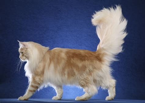 Cat breed of the day, Maine Coon