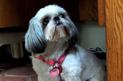 food for shih tzu 3 delicious recipes for your fur baby i shih tzu