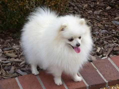 pictures of white pomeranians 36 most amazing white pomeranian pictures and photos