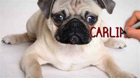 mascotas pug razas de perros carlino el pug