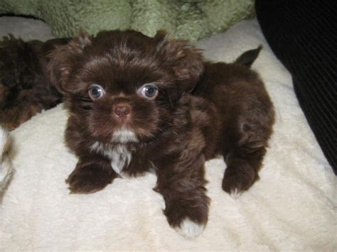chocolate shih tzu puppies 1631 best animals i images on