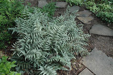 japanese painted fern athyrium goeringianum in denver arvada wheat ridge golden lakewood