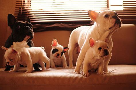pug family pug family pictures photos and images for and