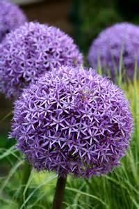 Flowering Onions - buy ornamental onion allium globemaster delivery by crocus