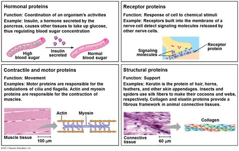 5 proteins and their functions flashcards chapter 5 the structure functions of large