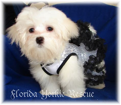 puppy adoption florida how to rescue a maltese puppy in florida thumbnail breeds picture