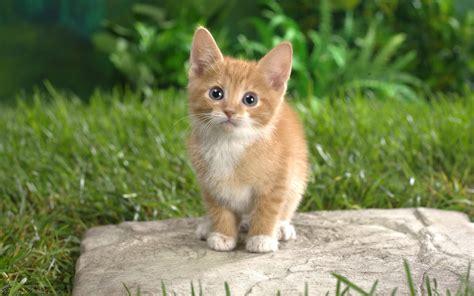 wallpaper cat orange curious tabby kitten wallpapers hd wallpapers id 4990