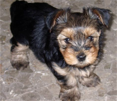 how big does a yorkie pomeranian mix get silky terrier terriers and dogs on