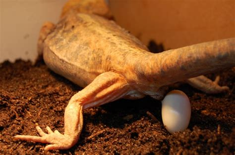 What Do Bearded Dragon Eggs Look Like